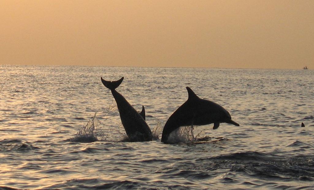 Bali Delfine